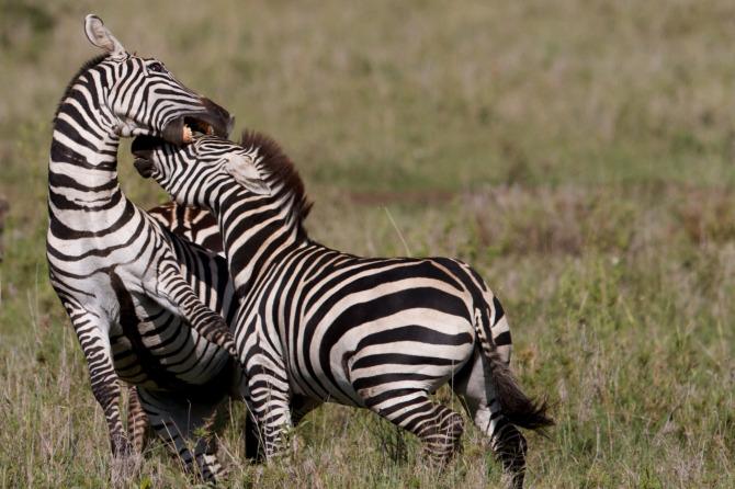 Lion Fight Zebra