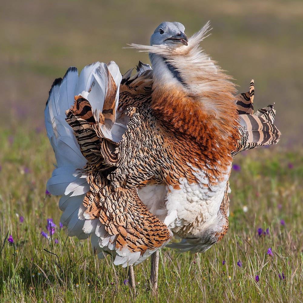 Фото птицы дрофы
