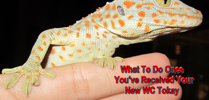 what to do once you ve received your new wc tokay tokay