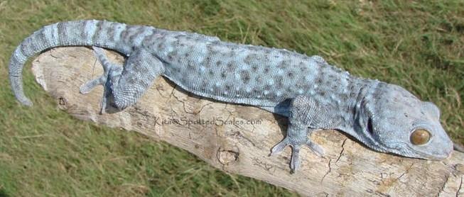 Powder Blue Tokay Gecko | www.pixshark.com - Images ...