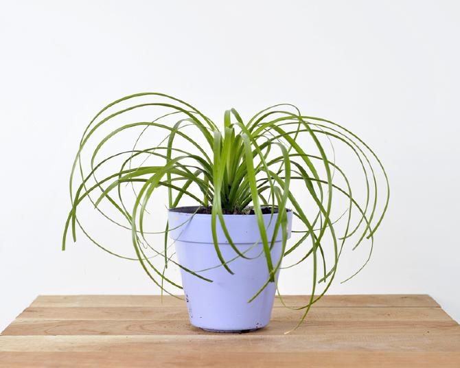 Caracteristica Planta De Sol Media Sombra Parecida A Una Pequena Palma Esta Planta Es Ideal Para Ambientes Cercanos Al Mar Y Exteriores Muy Resistente
