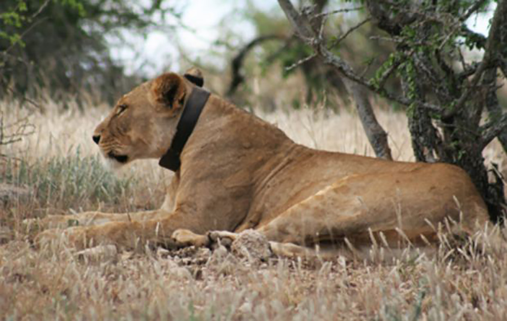 Open Source Lion Tracking Collars Lucas Vickers