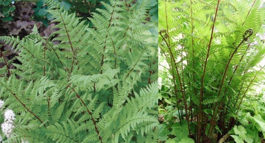 athyrium felixforma �lady in red� lady fern
