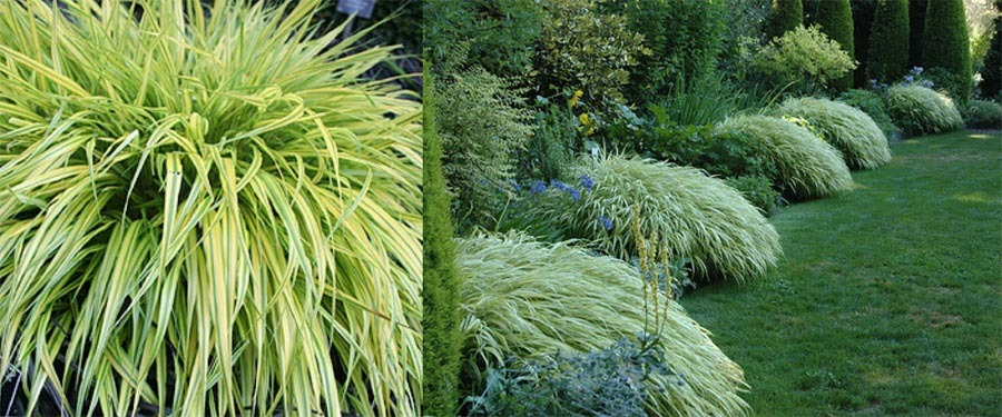 Hakonechloa marca aurelola golden forest grass for Japanese mounding grass
