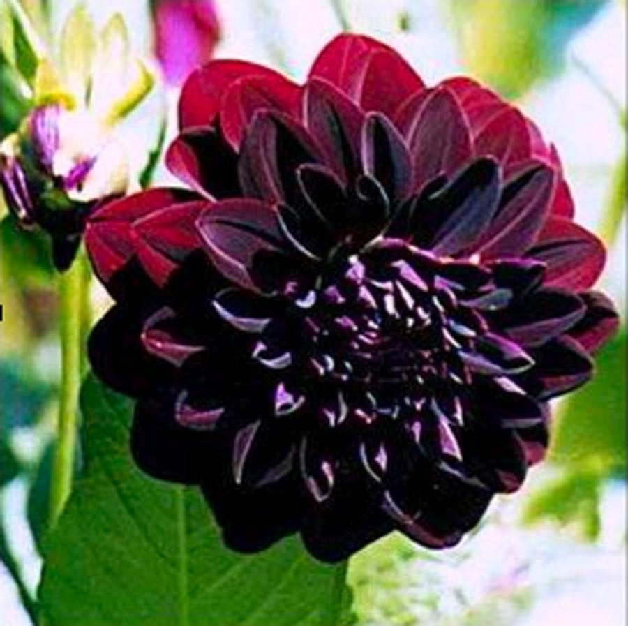 Dahlia Arabian Night Dahlia Stonepocket Know What You Grow