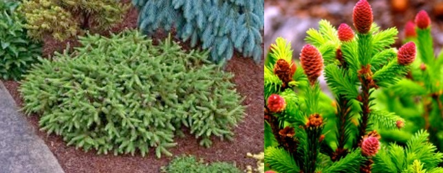 Picea Abies Pusch Stonepocket Know What You Grow
