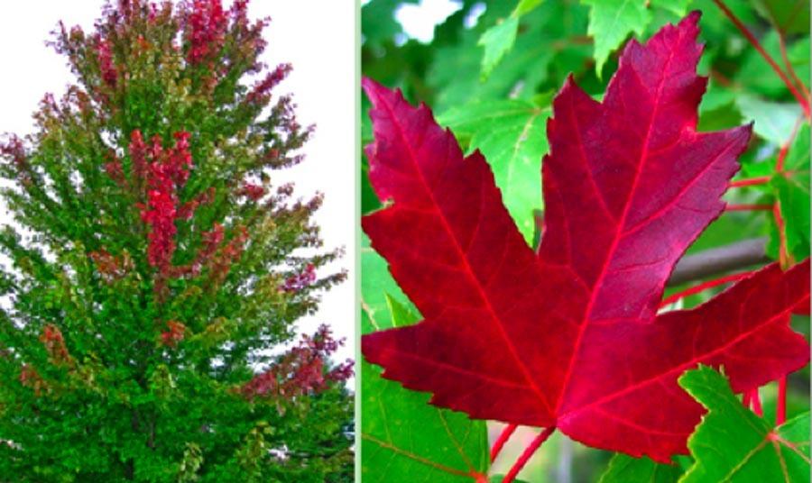 Acer X Freemainii Jeffersred Autumn Blaze Maple Stonepocket