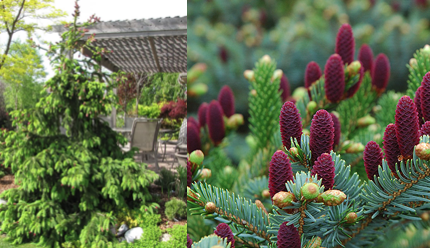 Picea Abies Acrocona Stonepocket Know What You Grow