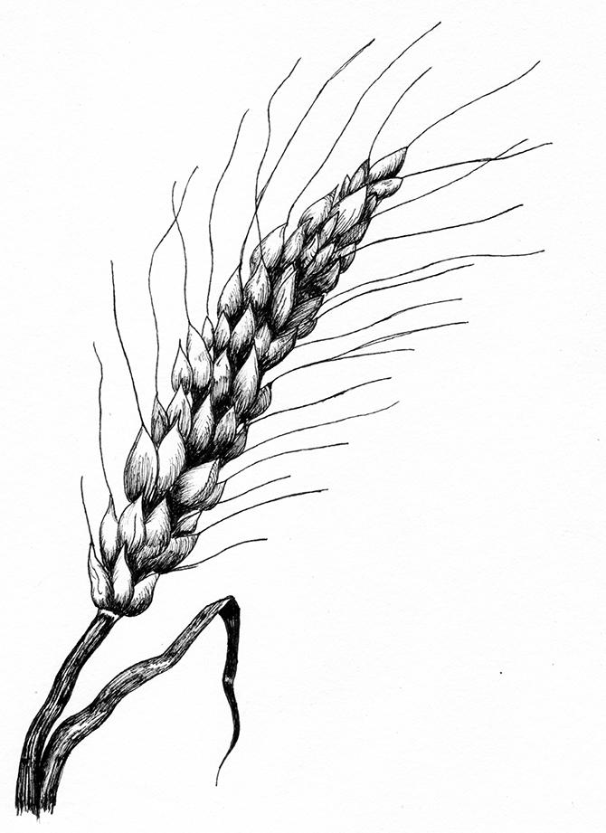 Картинки с пшеницей карандашом