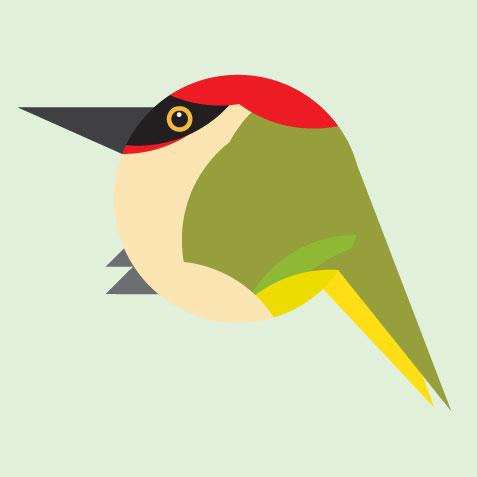 Green Woodpecker (Picus Viridian) Bill