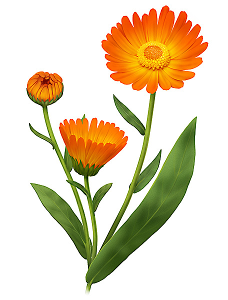 Marigold Flower Line Drawing : New how to draw a marigold flower