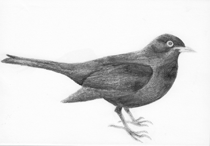 blackbirds drawing - photo #18